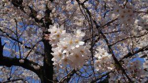 桜その1_平成30年春